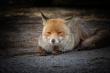Ritratto di volpe