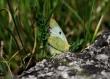 Pieridae Colias
