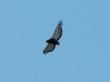 Falco giocoliere