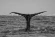 La coda della balena 1